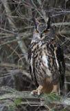 Perched Eurasian Eagle Owl Stock Image