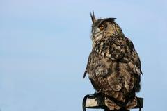perched europeisk owl för örn Royaltyfri Bild