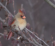 Perched Female Cardinal Stock Photo