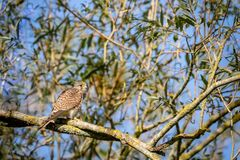 Perched female kestrel. Female kestrel perched on a tree on sunny day in Hainault forest country park in Essex, England royalty free stock image