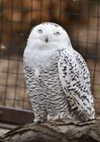 Perched Female Snowy Owl. This is an early Spring picture of a female Snowy Owl perched on a tree branch in her compound.  The Snowy Owl is a large, white owl Royalty Free Stock Photos