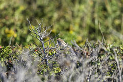 Perched Field Sparrow Royalty Free Stock Images