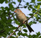 Perched Field Sparrow Stock Image