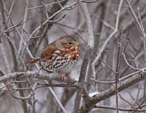 Perched Fox Sparrow Royalty Free Stock Photos