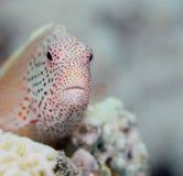 perched fräknig hawkfish Royaltyfri Bild