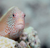Perched Freckled Hawkfish. Taken in Fiji Royalty Free Stock Image