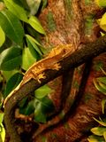 Perched gecko Royalty Free Stock Image