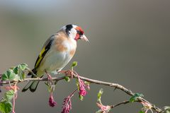 Perched goldfinch portrait. A profile portrait photograph of a goldfinch perched on a branch of pink red flowers buds posing and looking to the right Royalty Free Stock Photo