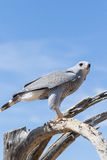 Perched Gray Hawk Royalty Free Stock Photos