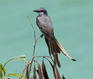 Perched Gray Kingbird, Caribbean. Gray Kingbird (Tyrannus dominicensis) perched on a branch, Antigua, Eastern Caribbean Stock Photo