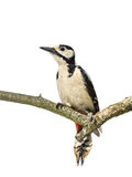 Perched Great Spotted Woodpecker Royalty Free Stock Photos