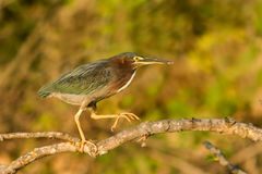 Perched Green Heron Royalty Free Stock Photography