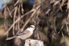 Perched Grey Jay Perisoreus canadensis watching Stock Images
