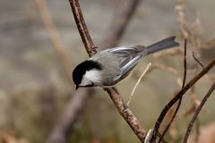 PERCHED GREY JAY royalty free stock images