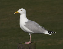 Perched Gull. Gull perched on a post Royalty Free Stock Photography