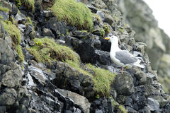 Perched gull on the rocks. Royalty Free Stock Photos