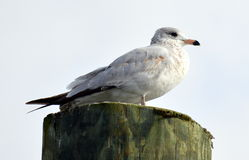 A perched gull Royalty Free Stock Photos