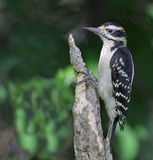 Perched Hairy Woodpecker Stock Photos
