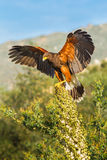 Perched Harris' Hawk. Vertical Composition of Adult Harris' Hawk Balancing On Yucca Plant Perch Stock Image