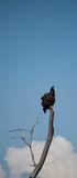 Perched Hawk Royalty Free Stock Photography