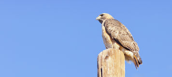 Perched Hawk Over Blue Royalty Free Stock Photography