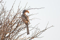 Perched hornbill Stock Photography
