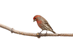 Perched house finch lowers his head. While perched a house finch comtemplates its next landing location; white background royalty free stock image
