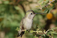 Free Perched Hummingbird Royalty Free Stock Photo - 14594215