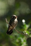Perched Hummingbird 2 Stock Photos