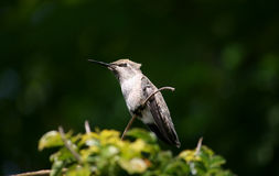 Perched hummingbird Stock Image