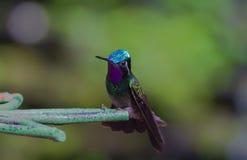 Perched hummingbird Arkivfoto
