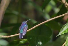 Perched hummingbird Arkivfoton