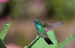 Perched Hummingbird Royalty Free Stock Image