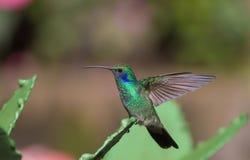 Perched Hummingbird Royalty Free Stock Image