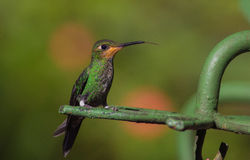 Perched Hummingbird Royalty Free Stock Images