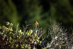 Perched hummingbird royaltyfria foton