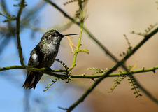 Perched Hummingbird Stock Images