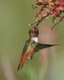 Perched hummingbird showing iridescence. Royalty Free Stock Photos