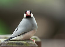 Perched Java Sparrow Stock Image