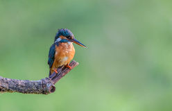 Perched Kingfisher Royalty Free Stock Photography
