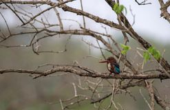 Perched Kingfisher Royalty Free Stock Images