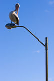 perched lamppostpelikan royaltyfri bild