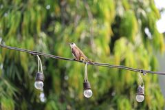 Wire-perched yellow vented Bulbul. Perched on a light yellow vented Bulbul bird at Pattaya Thailand Royalty Free Stock Photo