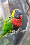 Perched Lorikeet parrot Royalty Free Stock Photo