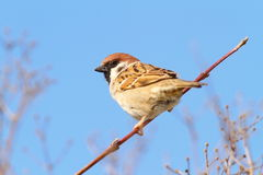 Perched male house sparrow. Over blue sky background ( Passer domesticus Stock Images