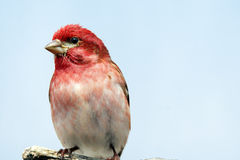 Perched male purple finch Royalty Free Stock Photos
