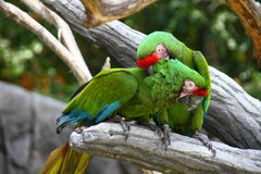 Perched Military Macaws Stock Photography