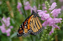 Perched monarch butterfly. With closed wings Stock Photos