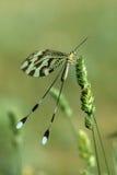 perched nemoptera Royaltyfri Bild