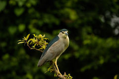 Perched Night Heron. Night Heron perched on the very edge of a branch. Sunlight reflecting of the branch and the bird Stock Photo